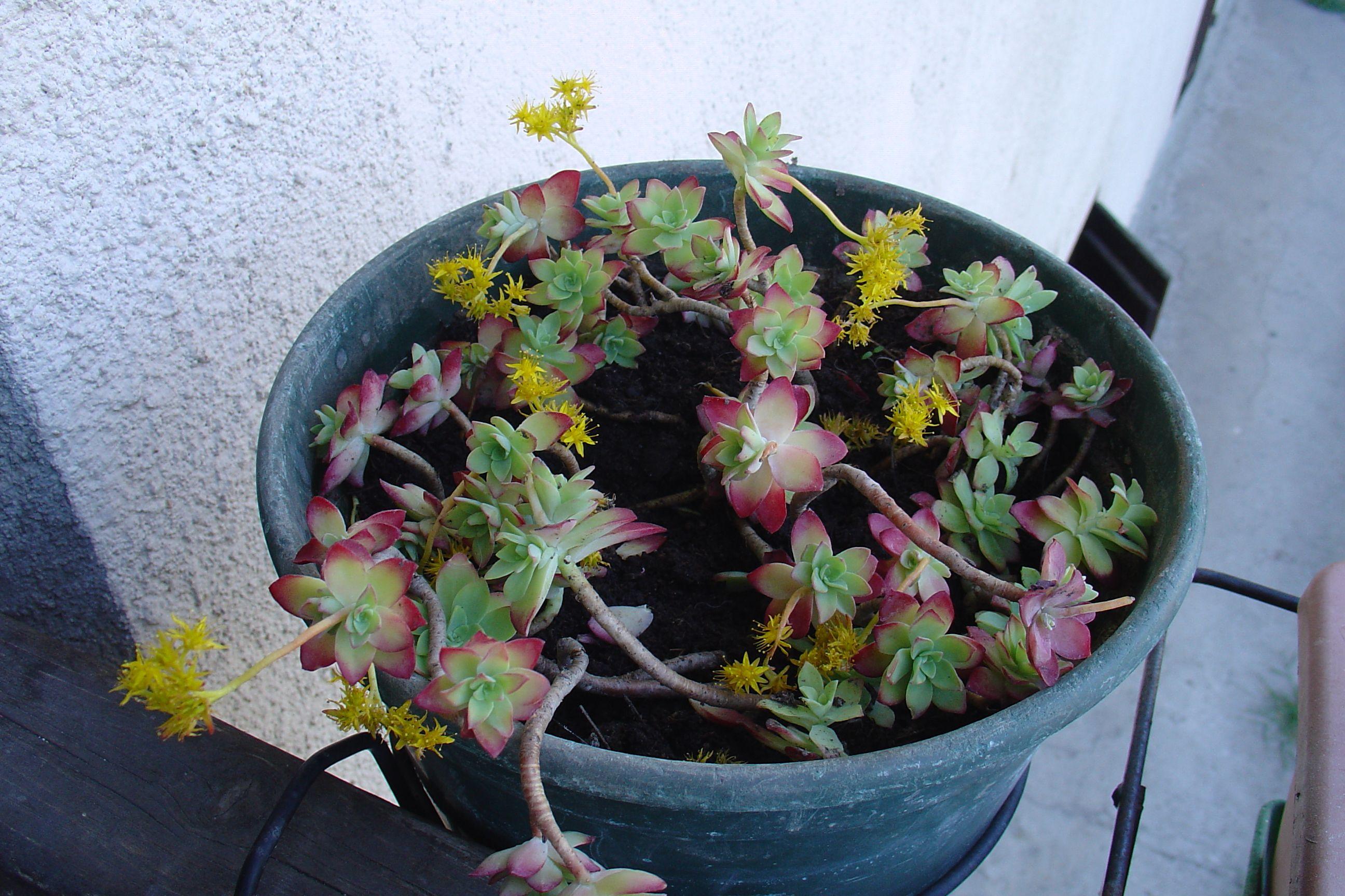 Imperia fiori gialli ce l'ho sul balcone Fiori gialli