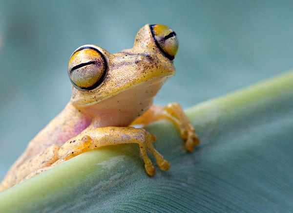 Happy Tree Frog. This Convict Treefrog (Hypsiboas calcaratus) looks as though it was happy.