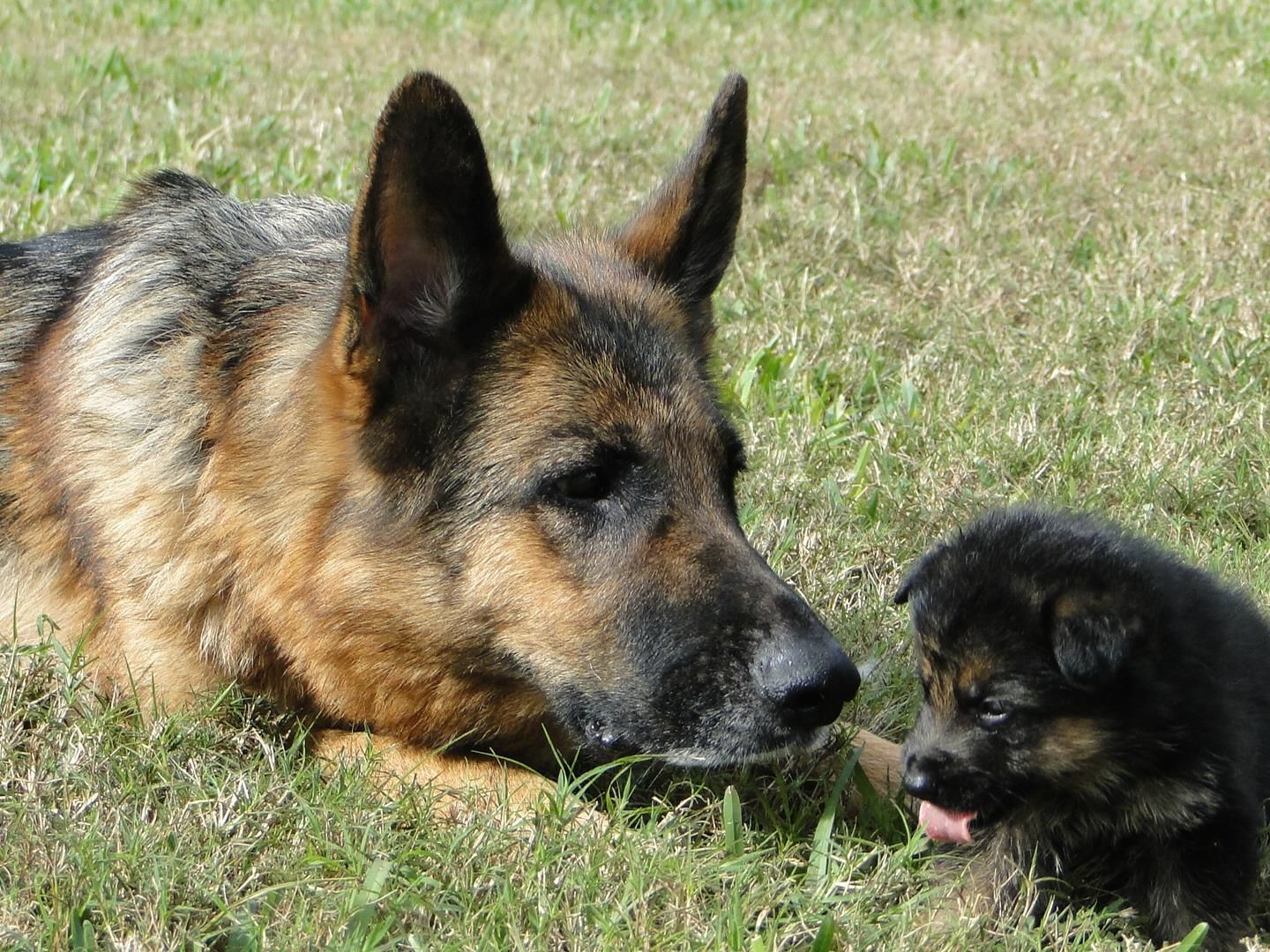 German Shepherd Breeder In Florida Is Dedicated To Producing Top