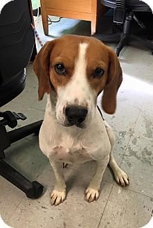 Hound Unknown Type Beagle Mix Dog For Adoption In Colonial