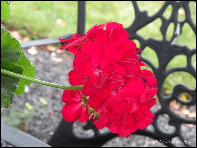 April Showers Brought Summer Flowers Calliope Geraniums In The