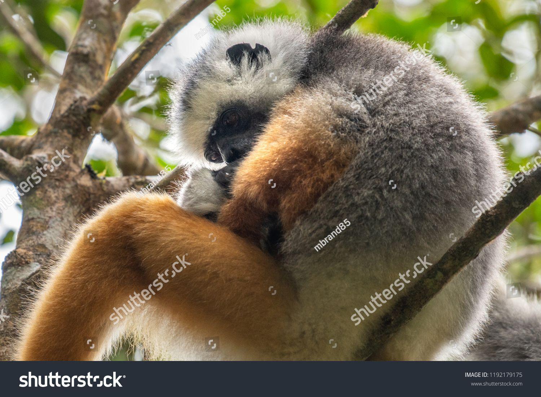 Lemur dancing, cute Diademed Sifaka Lemur in trees and nature. Madagascar animals wildlife, wild ani... - #dancing #diademed #lemur #nature #sifaka #trees - #SundaFlyingLemur