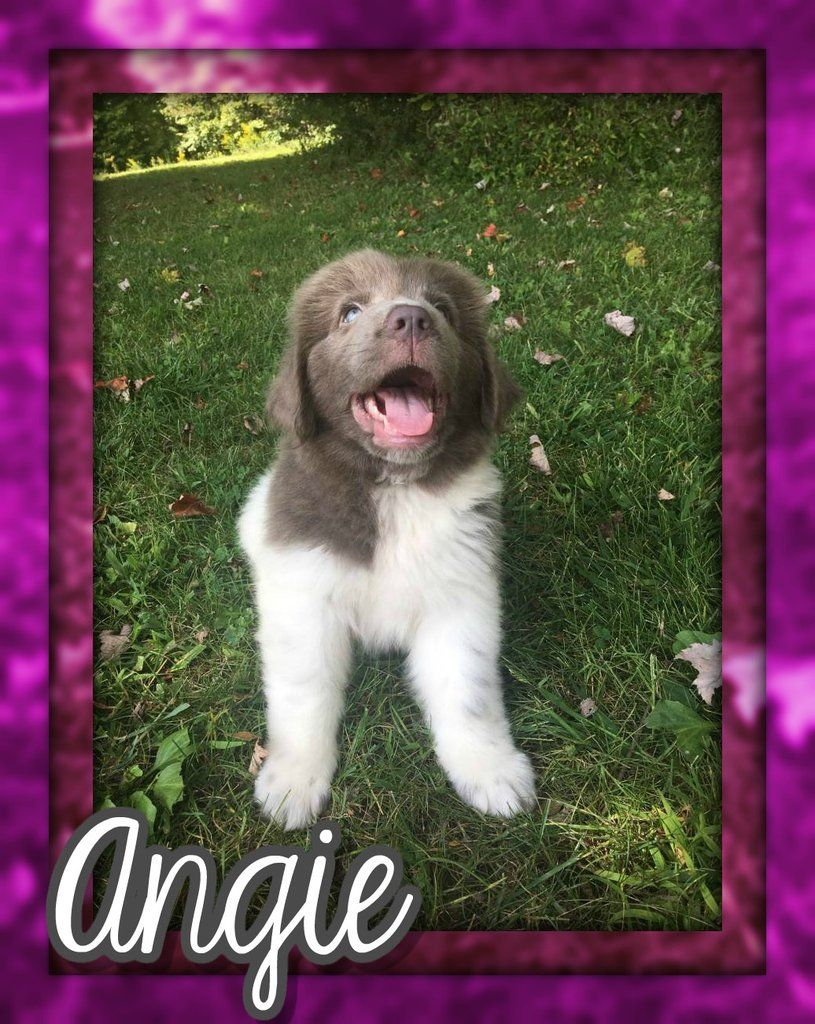 Angie female aca newfoundland 950 with images cute