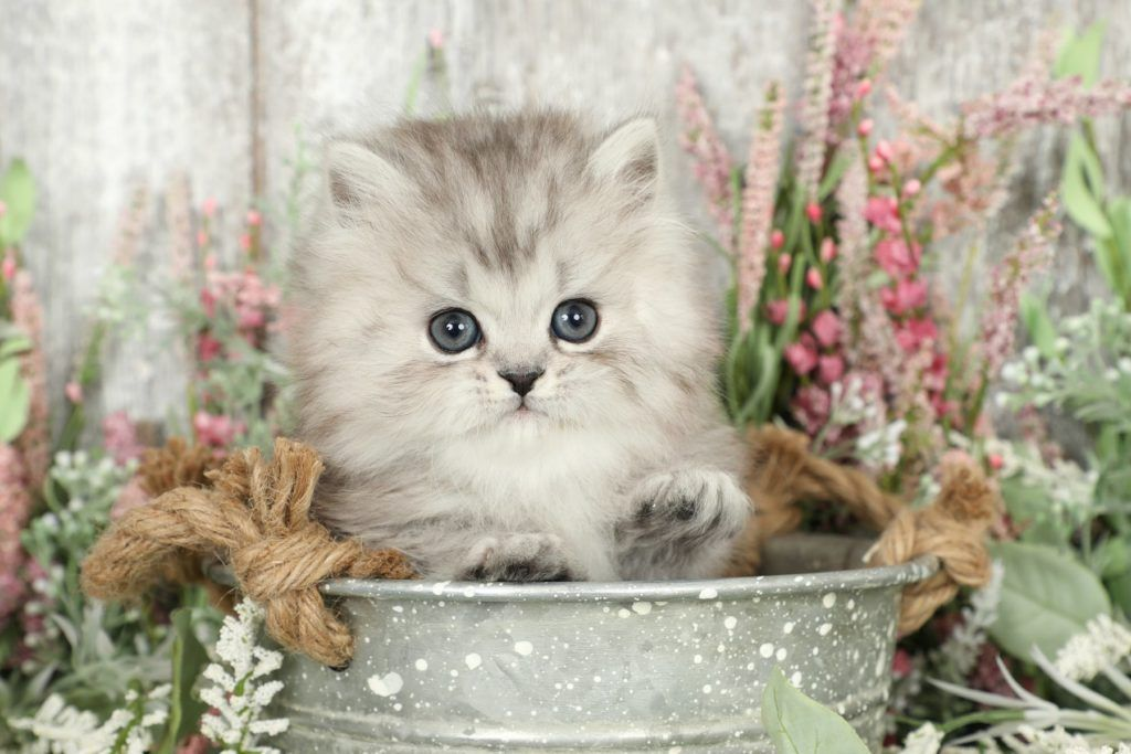 Silver Persian Kittens For Sale In 2020 Persian Kittens Persian Kittens For Sale Angora Cats