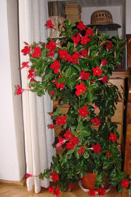 Sundaville Uprawa I Pielegnacja Planting Flowers Plants Flower Garden