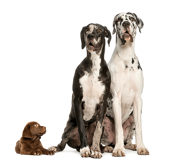 Two Great Danes Sitting And Looking Away Great Dane Puppy Dane Puppies Great Dane Dogs