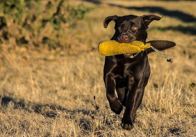10 Most Popular Dog Breeds In The Philippines With Images Dog