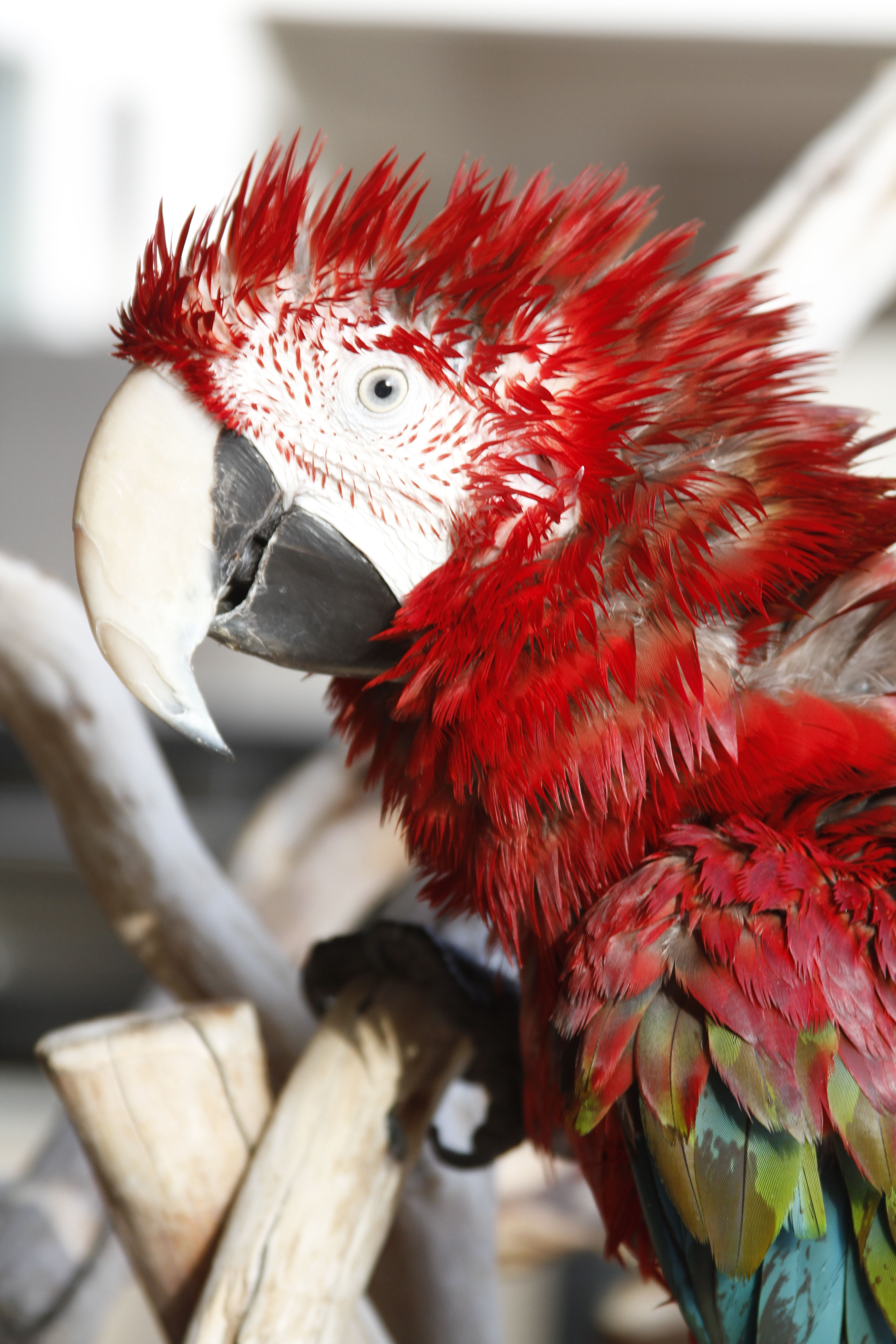 shower hair Greenwing macaw Macaw, Birds, Parrot