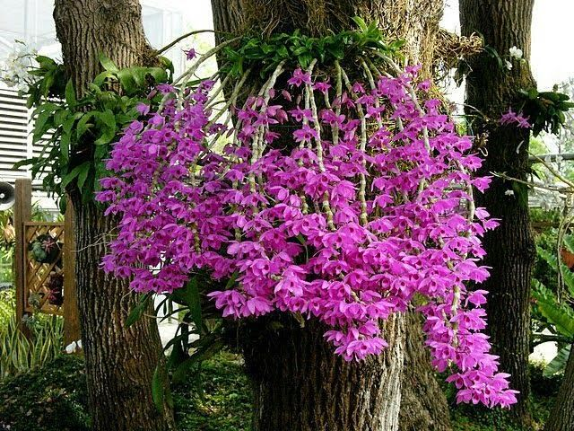 Philippine Orchid Events SEASON OF THE SANGGUMAY OR
