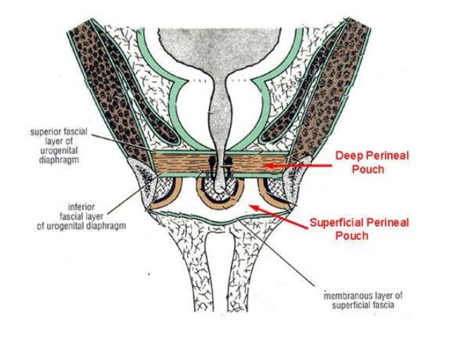 section through deep perineal space and urogenital diaphragm ...