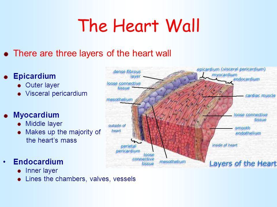 Theheartwalltherearethreelayersoftheheartwallepicardium theheartwalltherearethreelayersof ccuart Choice Image
