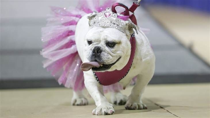 Bulldog Beauty Pageant Features Tiaras Tutus And Slobber Dog