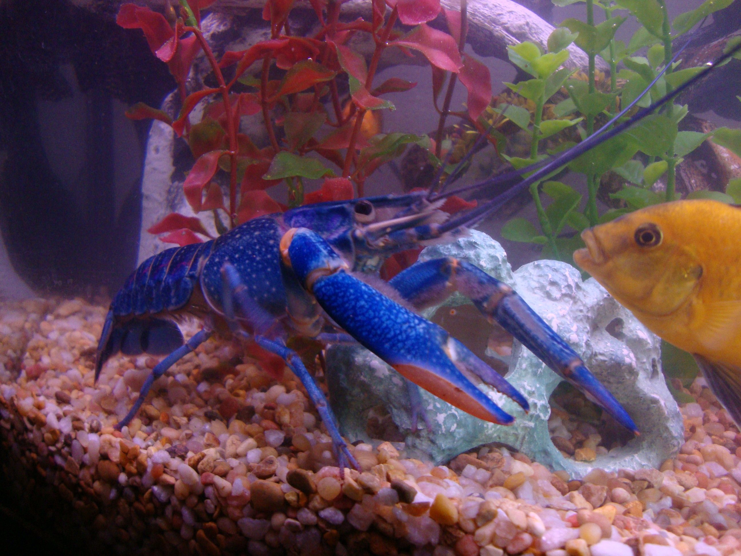 Blue Lobster You Can Keep These In A Fresh Water Aquarium I Also Read They Can Climb So Keep A Lid On That Aquarium Freshwater Lobster Fish Pet Fish Tank