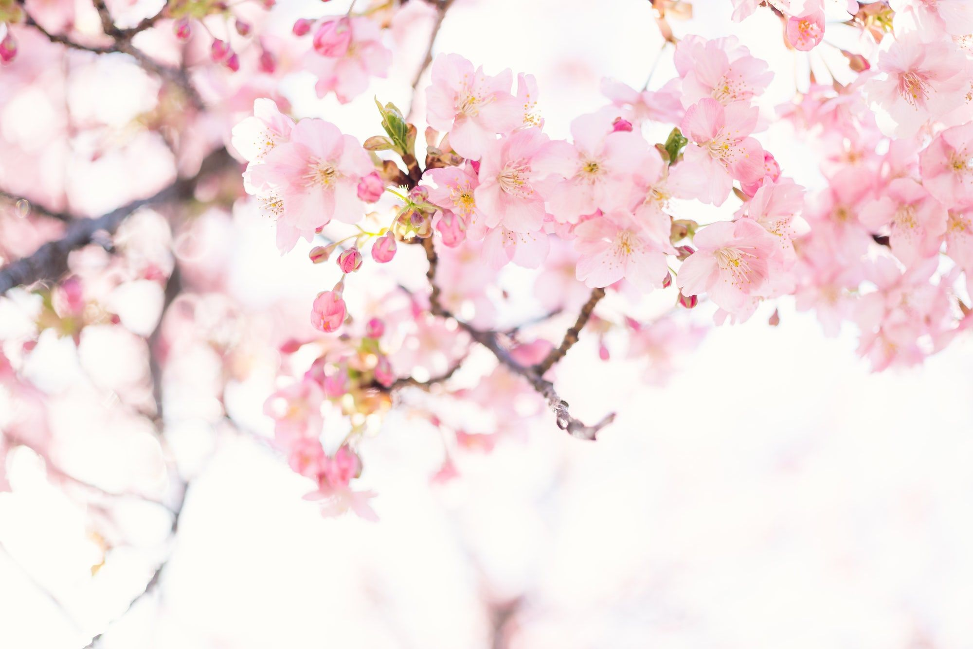 Thanks To Cipher For Making This Photo Available Freely On Unsplash Cherry Blossom Pictures Cherry Blossom Images Cherry Blossom Flowers
