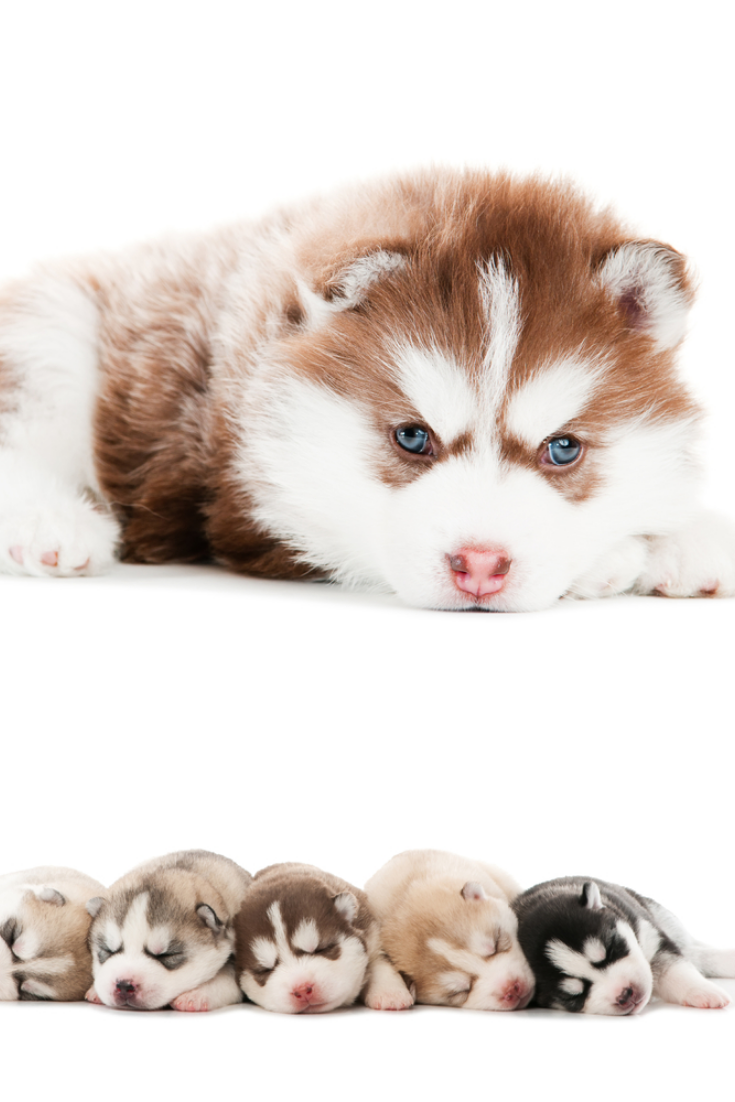 Collection Of Little Cute Puppy Of Siberian Husky Dog Isolated Yorkshireterrier With Images Husky Siberian Husky Dog Siberian Husky