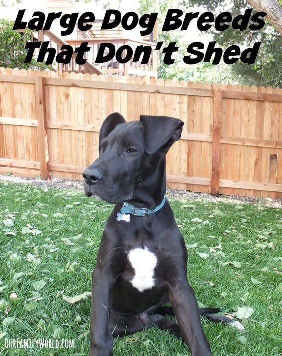 If Your Family Is Planning To Add A Dog To The Mix And Wants To Avoid Breeds That Require A Ton Of Mainte Dog Breeds That Dont Shed Large Dog Breeds
