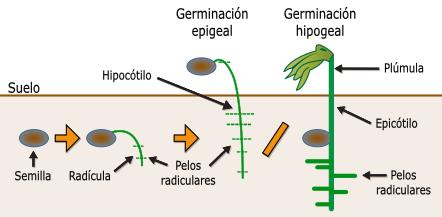Investigue Las Etapas De Germinacion Y Crecimiento De El Frijol Y Aprendi Que A Mis Frijoles Les Habia Nacido Una Radi Germination Plant Science Photosynthesis
