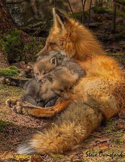 Beautiful fox family.