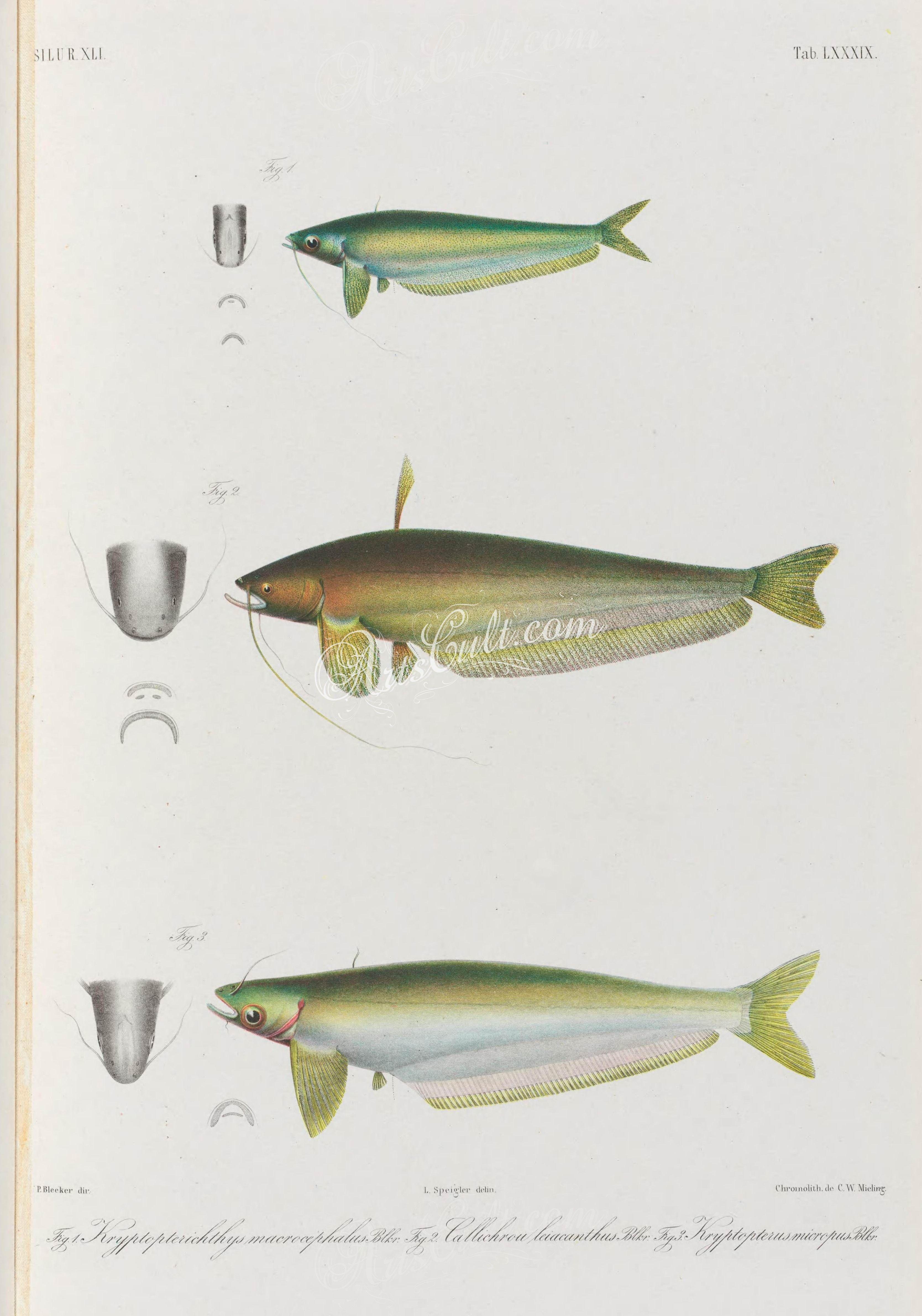 054-kryptopterichthys mcrocephalus, callichrou leiacanthus, kryptopterus micropus      ...
