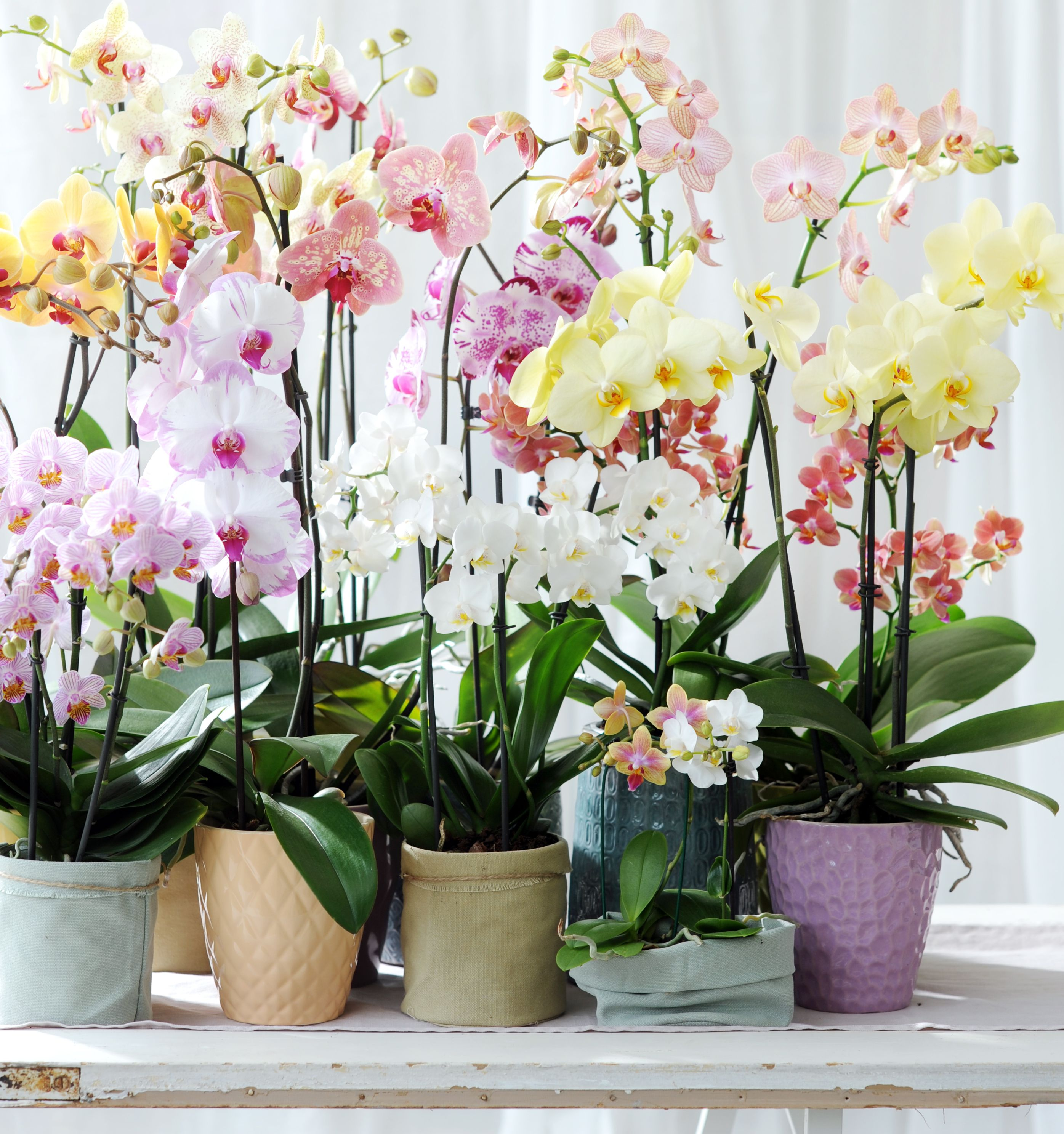 Colouring orchids phalaenopsis orchids pinterest phalaenopsis