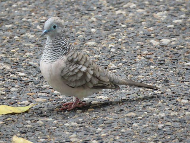 Bird Photos Birding Sites Bird Information Peaceful Dove Cairns Queensland Australia Cairns Bird Photography Doves