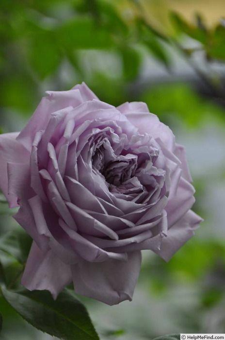 Le Ciel Bleu Rose Photo Roses Pinterest Rose Photos Rose And