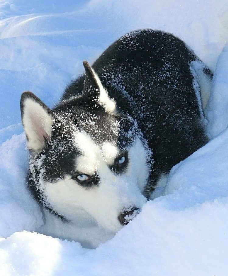 Discover Agile Siberian Husky Pup Exercise Needs