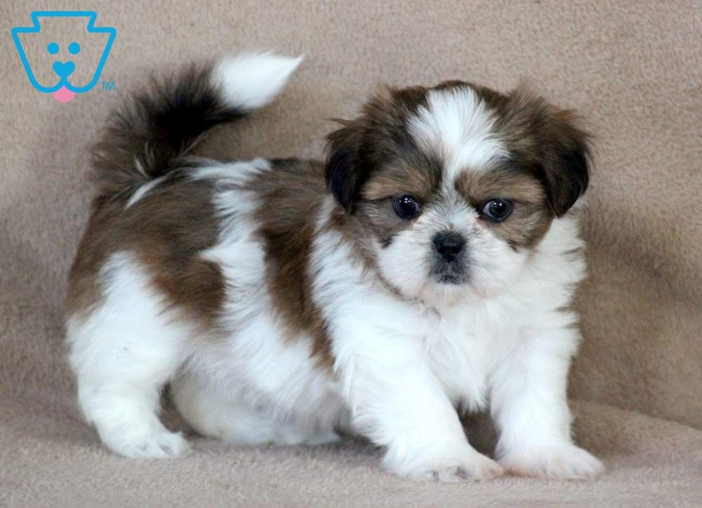 Tessa Shih Tzu Puppy Beautiful Dogs Cute Baby Animals