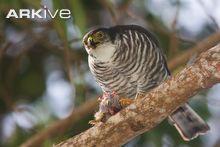 Falcão Semicollared (Accipiter collaris)