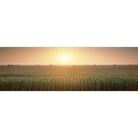 View Of The Corn Field During Sunrise Sacramento County California USA Canvas Art - Panoramic Images (18 x 6)