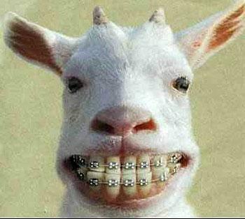 ugly goats