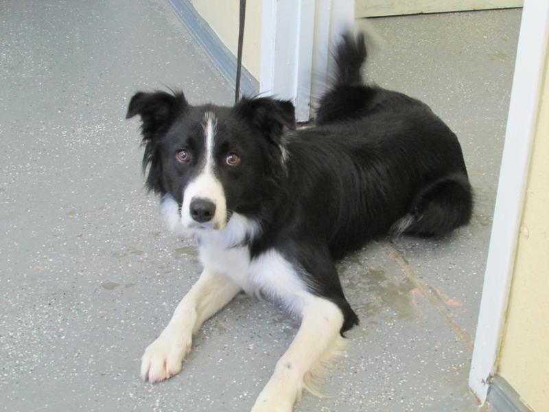 Adopt Lucky On Petfinder Border Collie Dog Collie Border Collie