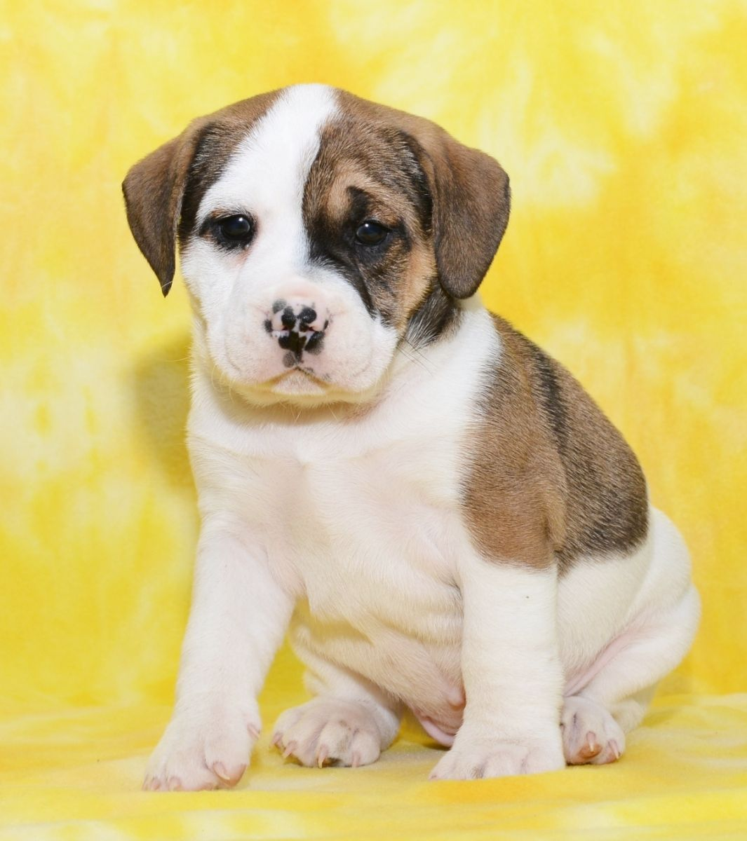 Puppies For Sale Rottweiler Puppies Pitbull Puppies Dogs And Puppies