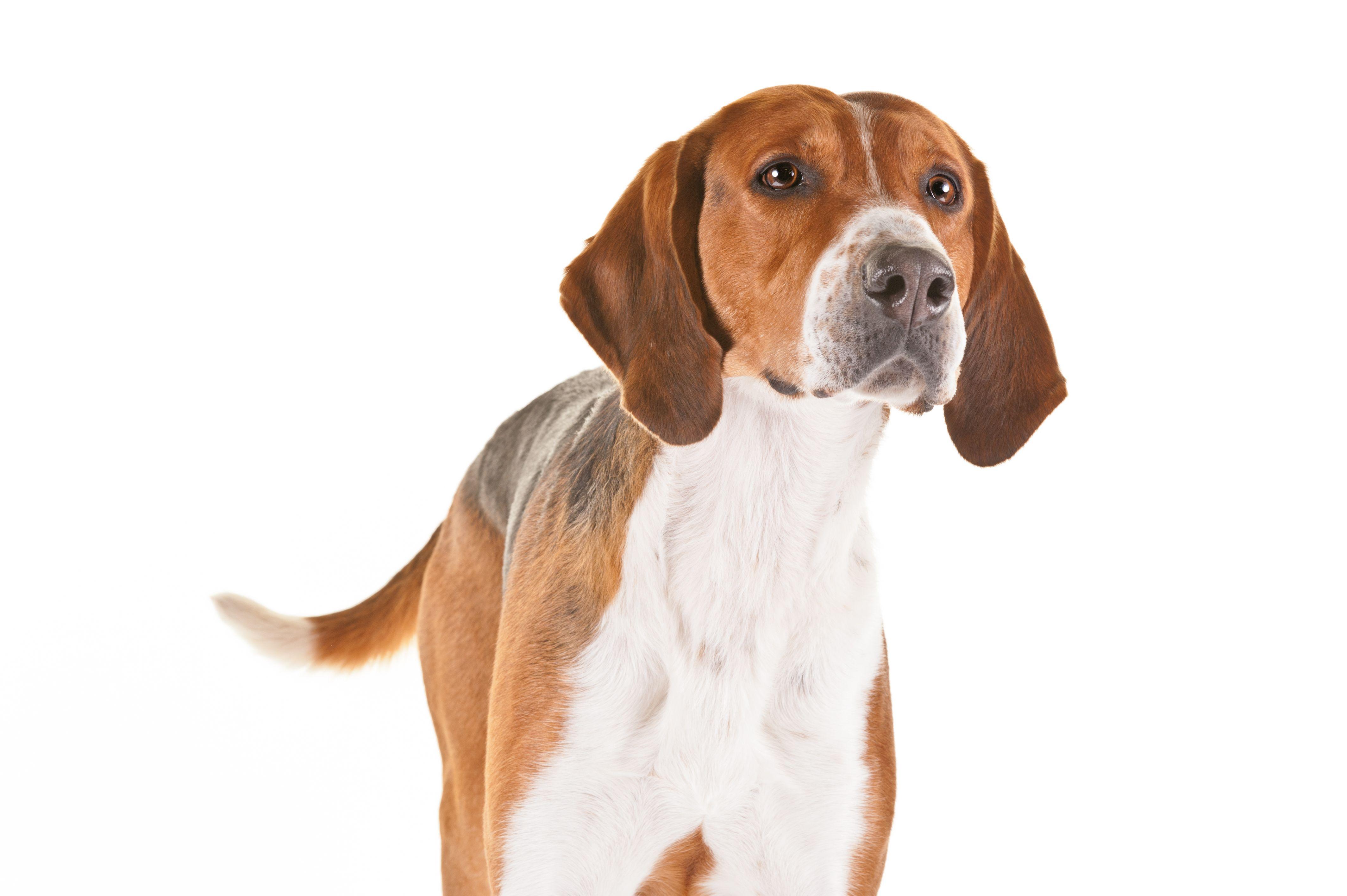 English Foxhound Dog Breed Information Rare Dog Breeds English