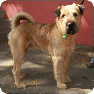 Shar Pei Airedale Terrier Mix Google Search Airedale Terrier