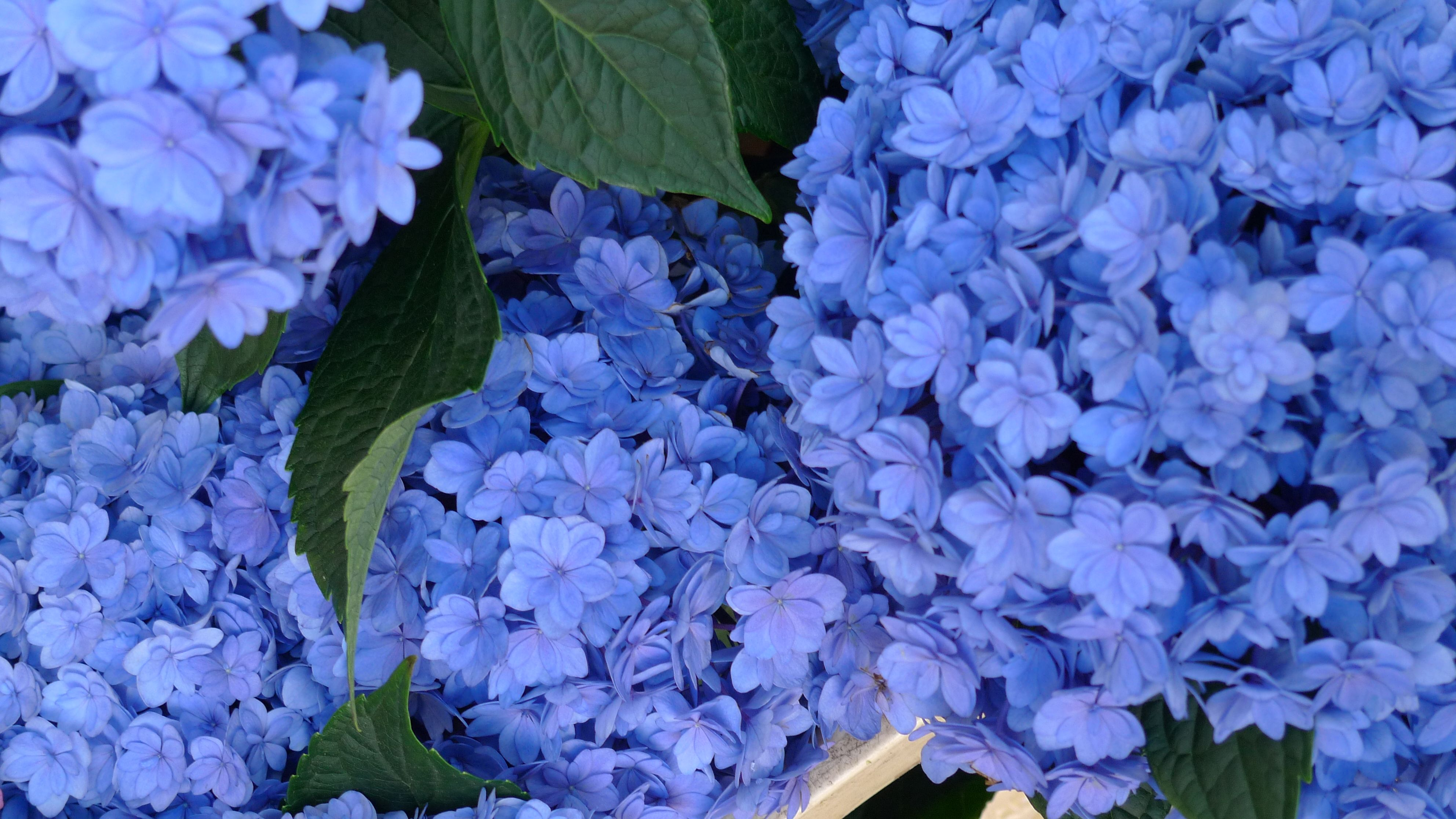 Have you EVER seen such fabulous DOUBLE blue hydrangea?
