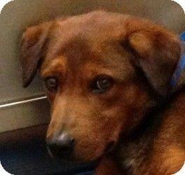 Minnetonka Mn Labrador Retriever German Shepherd Dog Mix Meet Waffles A Dog For Adoption Shelter Puppies Shepherd Dog Mix Pets