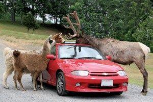 Safari In Va >> Va Natural Bridge Safari Drive Park Let S Go Virginia Is For
