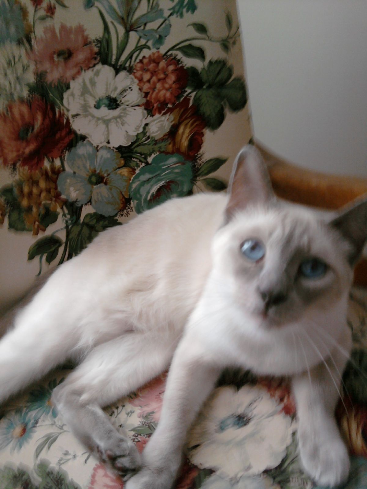 My Lilac Point Siamese Cat Siamese Cats Cats Siamese Kittens