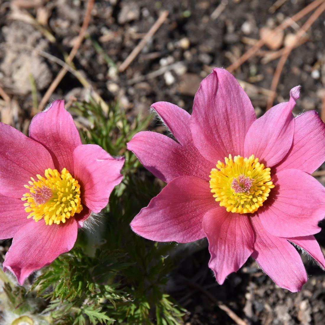Pulsatilla 'Rose Bells' At Plant Paradise Country Gardens