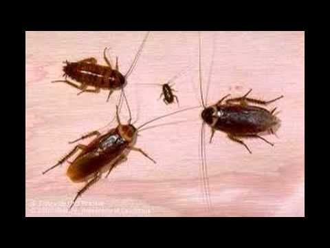 شركة مكافحة حشرات بالمدينة المنورة 0553885731 البق الصراصير النمل الابيض ومكافحة العقارب والوزغ Roaches Roach Infestation Pest Control