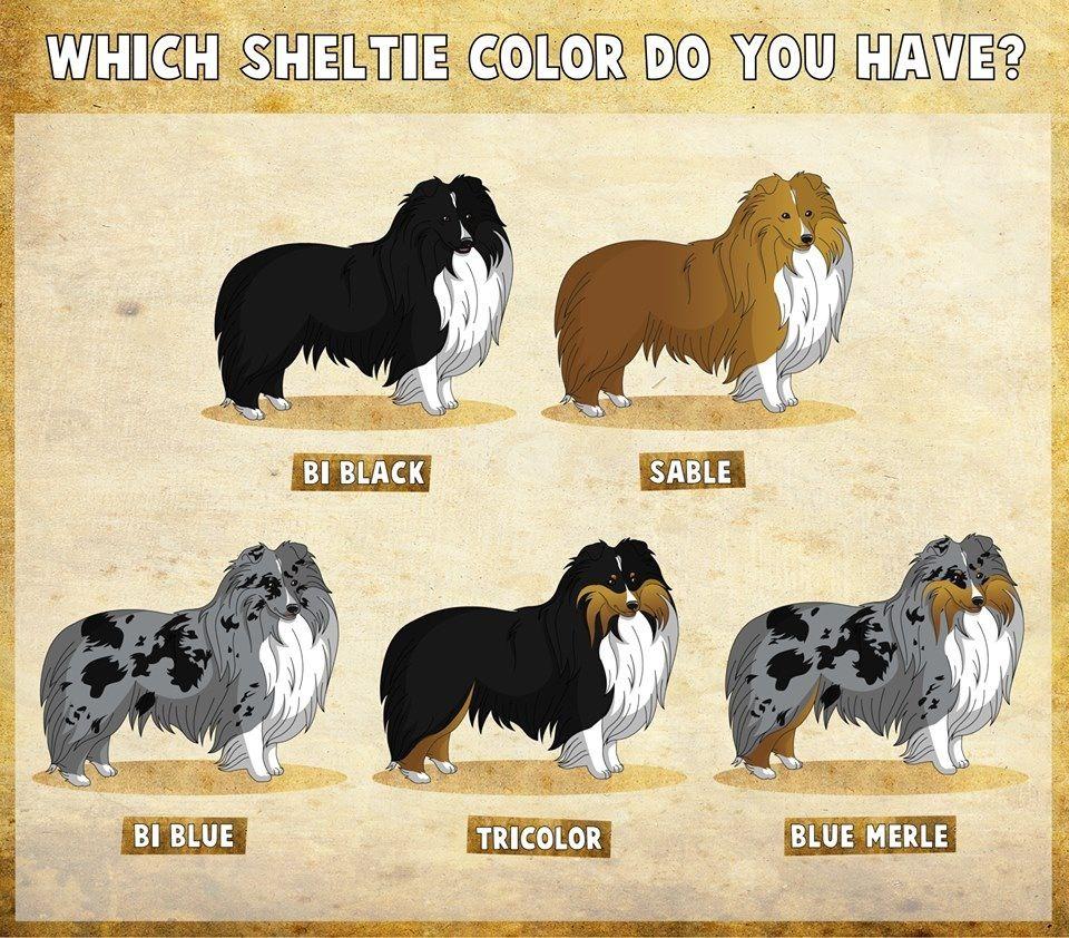 Another Color Chart Shetland Sheepdog Sheep Dog Puppy Shetland
