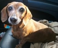 Heidi Found A Home Through Dachshund Rescue Of North America Weiner Dog Dachshund Rescue Doxie