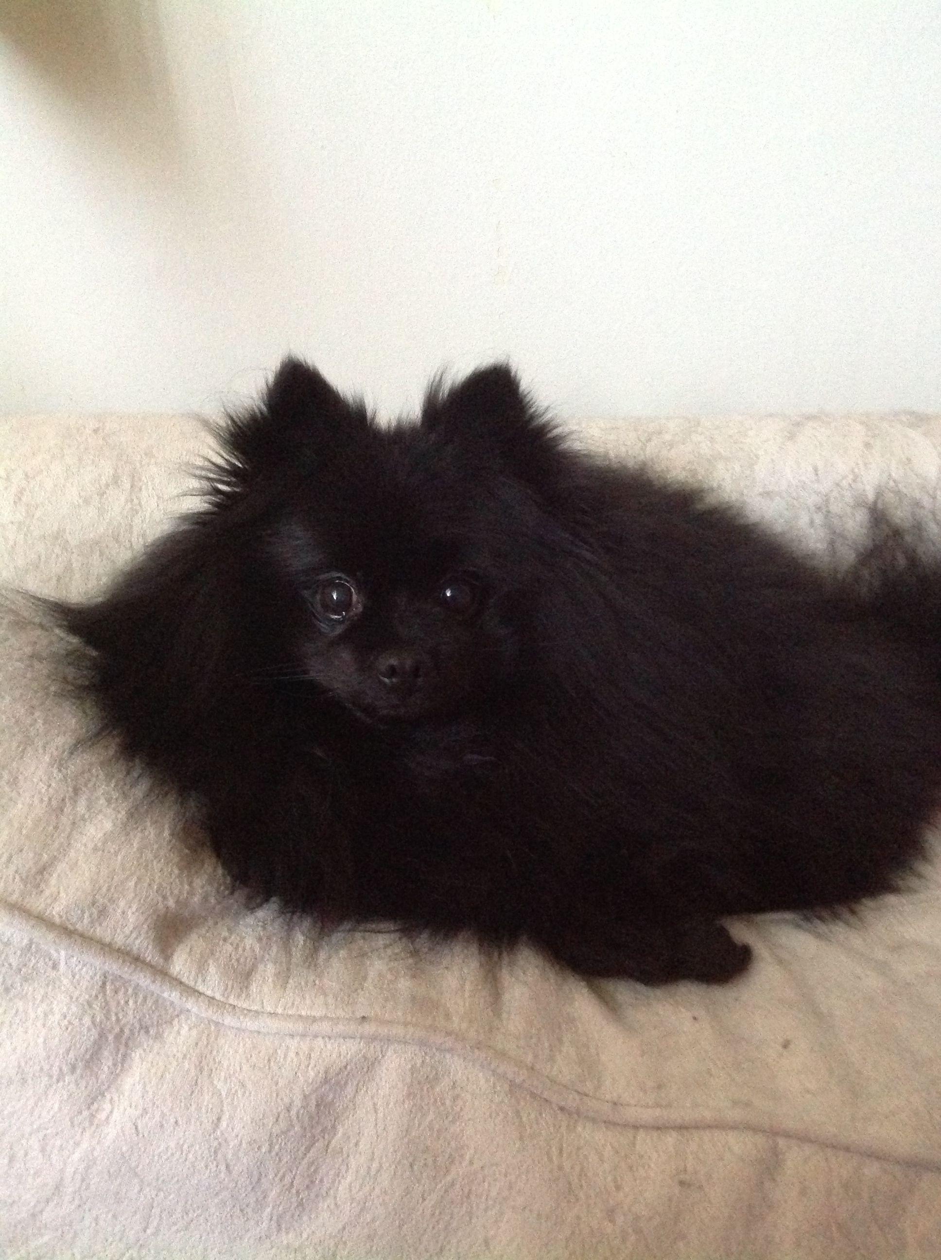 Black Pomeranian Black Pomeranian Dogs Pomeranian Puppy