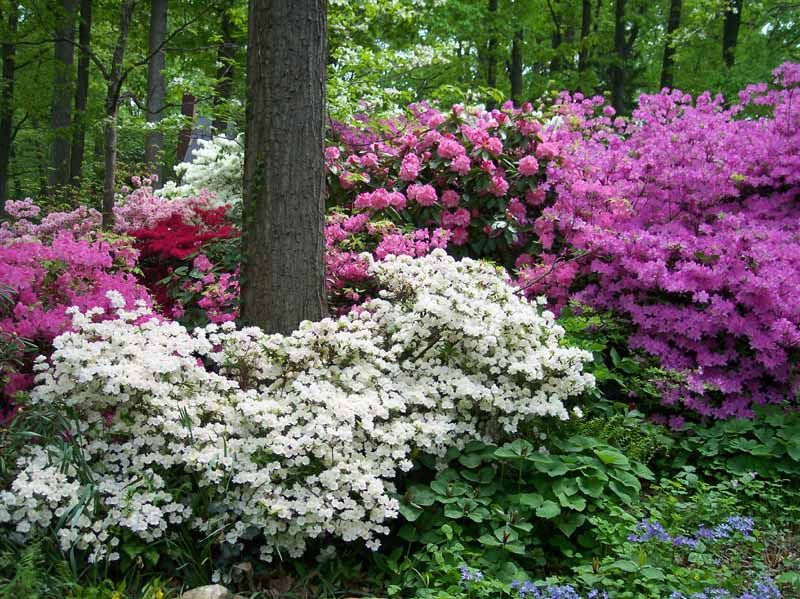 rhododendron & azaleas in front