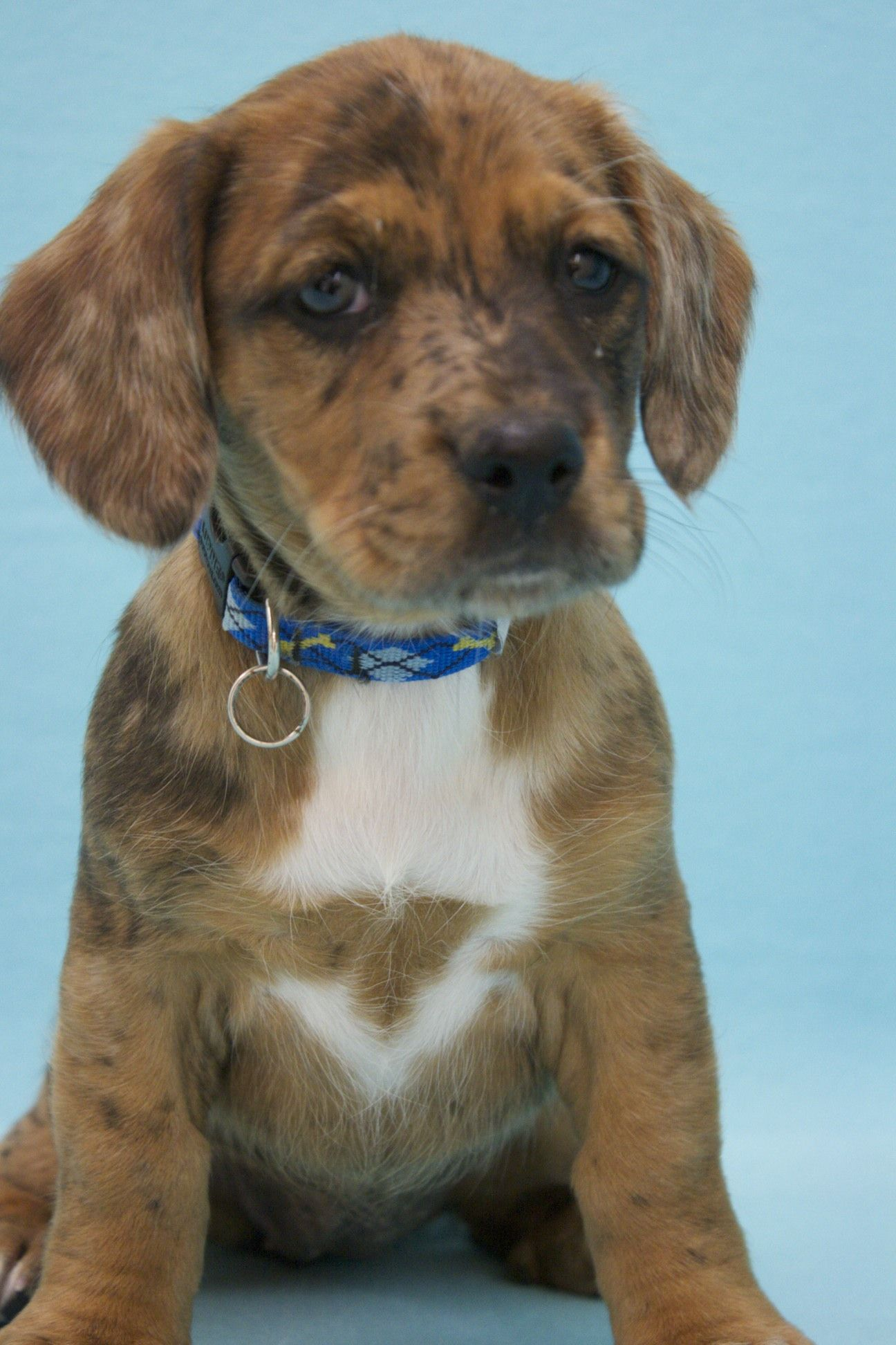 Cream Pie, an adoptable mutt in Broomfield, CO! www.muttsavers.org