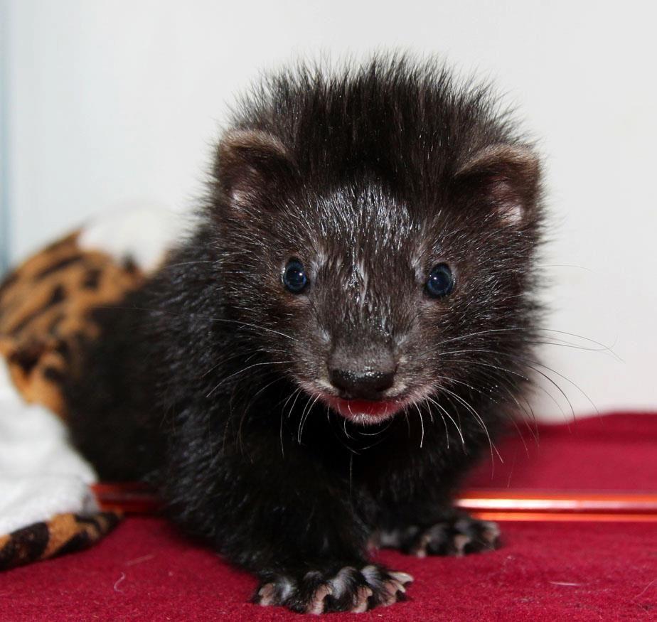 I WANT this Black Ferret!!!! Cute ferrets, Ferret toys