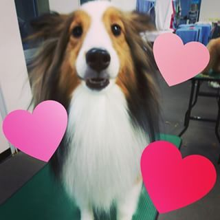 Sheltie Heart Dog