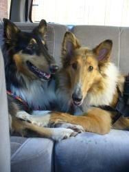 Lilly Is An Adoptable Collie Dog In Oklahoma City Ok This Sweet