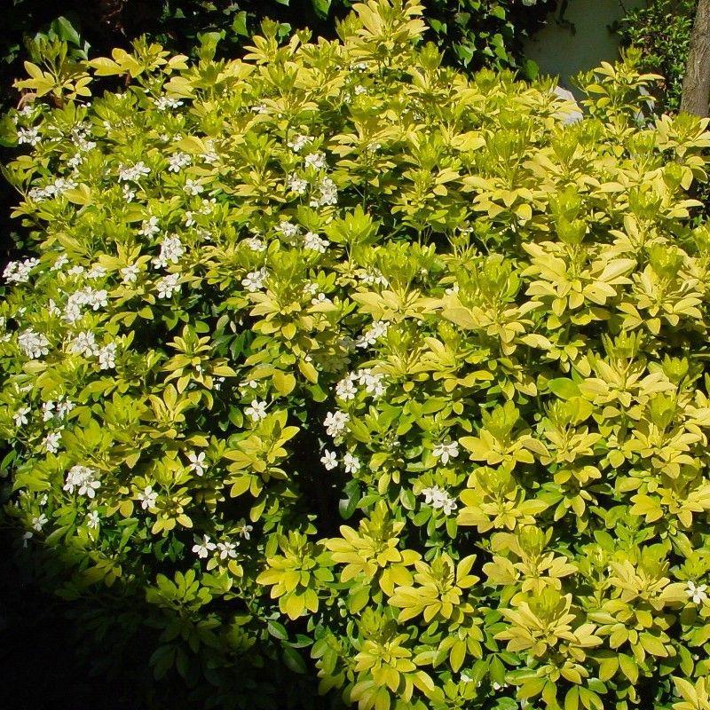 Choisya ternata 39 sundance 39 lich oranger du mexique dor en pot shrubs for westwell - Oranger du mexique en pot ...